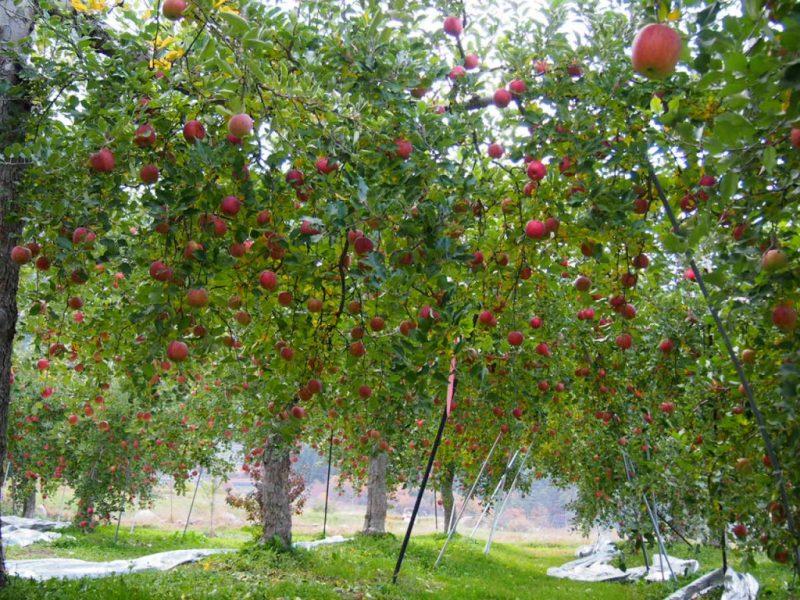 松川村りんごの木